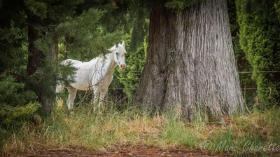 Wildlife photography white horse